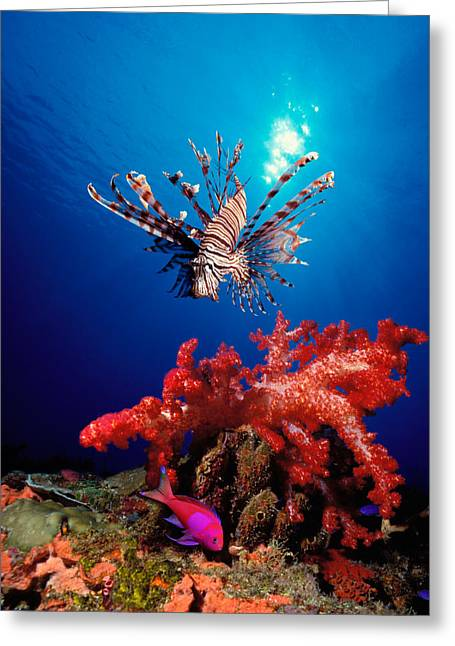 Lionfish Greeting Cards - Lionfish Pteropterus Radiata Greeting Card by Panoramic Images