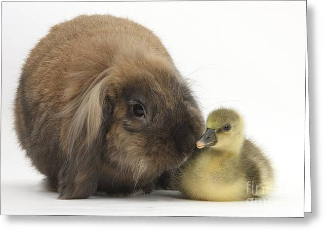 House Pet Greeting Cards - Lionhead Lop Rabbit And Gosling Greeting Card by Mark Taylor