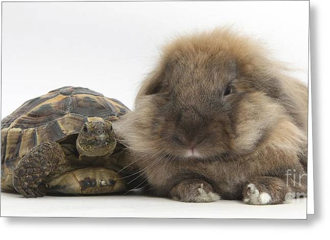House Pet Greeting Cards - Lionhead Lop Rabbit With Tortiose Greeting Card by Mark Taylor