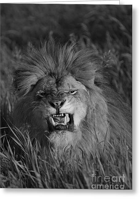 Growling Greeting Cards - Lions Courage Greeting Card by Wildlife Fine Art