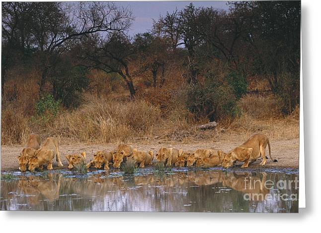 Reflections Of Trees In River Greeting Cards - Lions Drinking Greeting Card by Art Wolfe