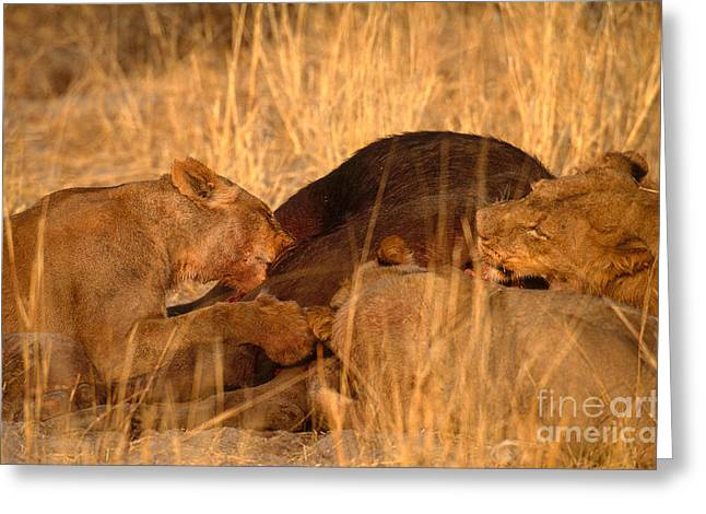 Lions Eating Buffalo Greeting Card by Art Wolfe
