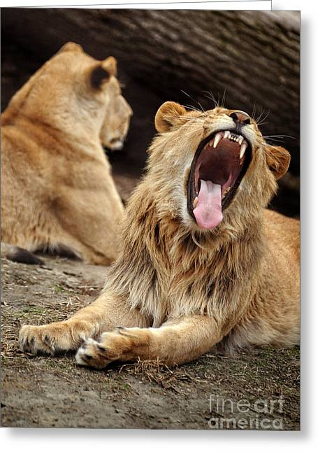Roar Greeting Cards - Lions Greeting Card by HD Connelly