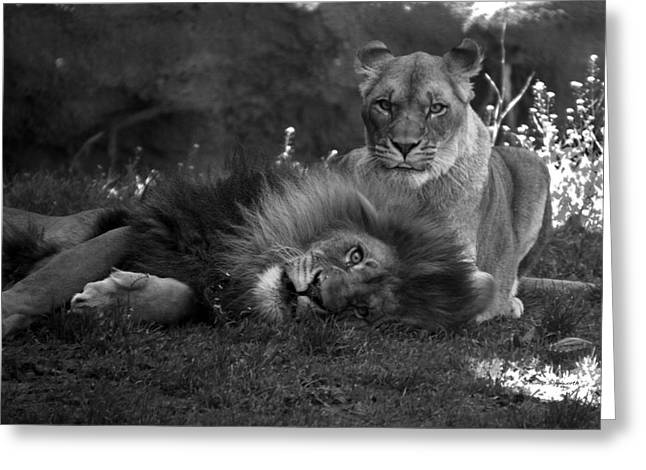 Central Il Greeting Cards - Lions Me And My Guy Greeting Card by Thomas Woolworth