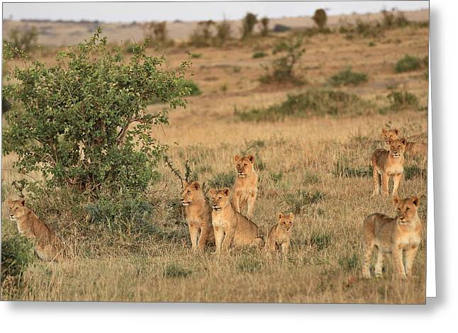 Landscape Posters Greeting Cards - Lions Greeting Card by Peter Wabbel