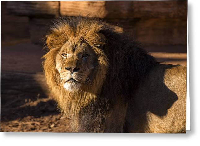 Animal Pics Greeting Cards - Lions Stare Greeting Card by Chris Flees