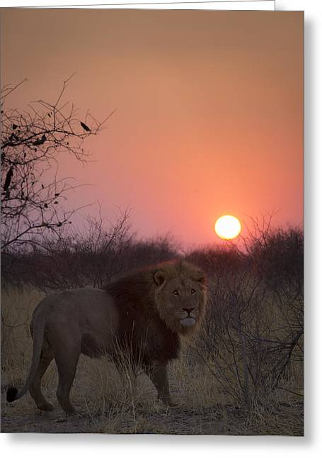 Bigcat Greeting Cards - Lions sundown Greeting Card by Andy-Kim Moeller