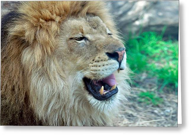 Animal Pics Greeting Cards - Lions teeth Greeting Card by Chris Flees