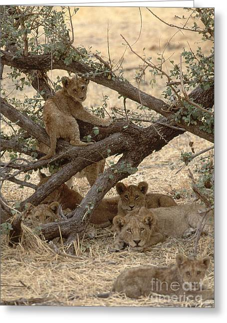 In Shade Greeting Cards - Lions With Cubs Panthera Leo Greeting Card by Art Wolfe