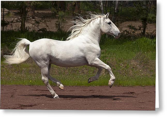 Vale Greeting Cards - Lipizzan at Liberty D5809 Greeting Card by Wes and Dotty Weber