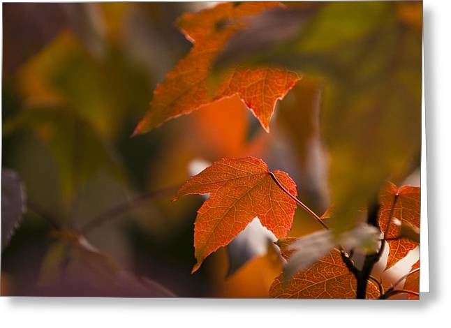 Liquidambar Autumn Greeting Card by Anne Gilbert