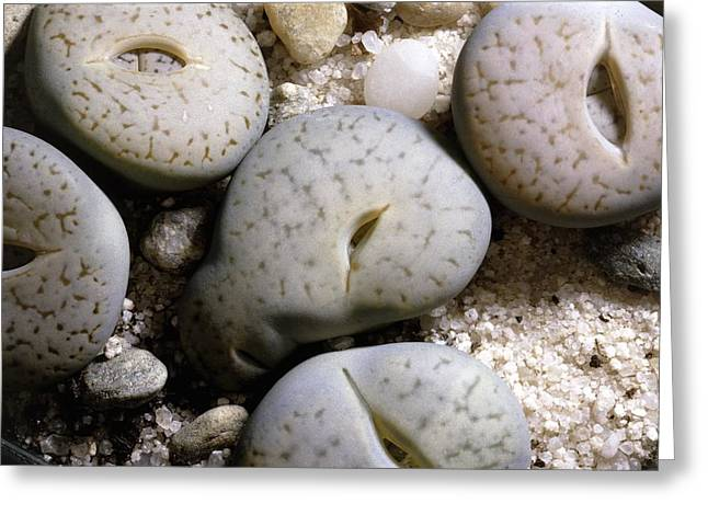 Lithops Pseudotruncatella Plants Greeting Card by Science Photo Library