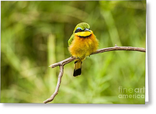 Reserve Greeting Cards - Little Bee-eater Merops pusillus Greeting Card by Eyal Bartov