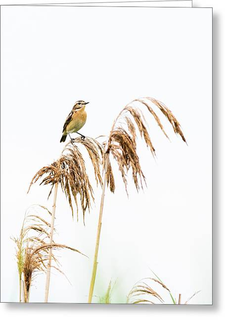 Feather Pyrography Greeting Cards - Little bird clinging to a reed stem Greeting Card by Attila Simon