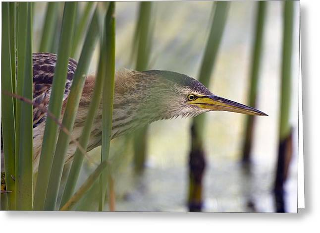 Reed Bed Greeting Cards - Little bittern Greeting Card by Science Photo Library