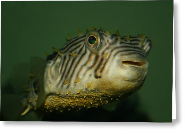 Porcupine Puffer Greeting Cards - Little Porcupine Fish Greeting Card by Beth Andersen