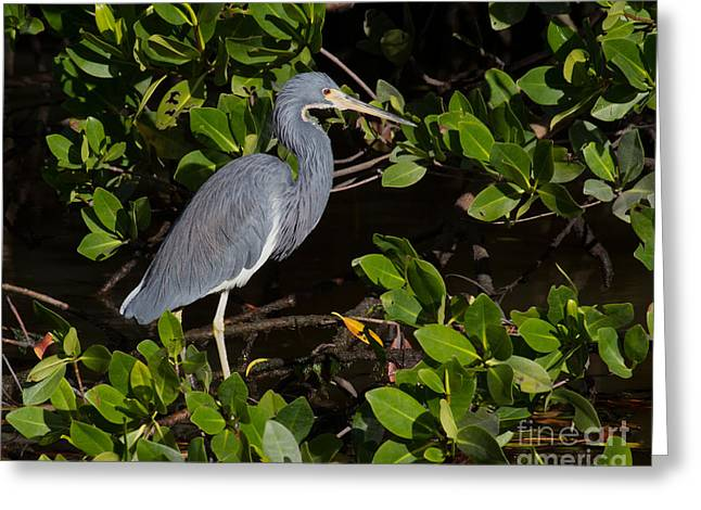 Wadingbird Greeting Cards - Little Blue Heron Greeting Card by Chris Scroggins