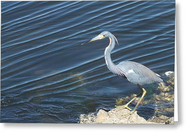 J N Ding Darling National Wildlife Refuge Greeting Cards - Little Blue Heron II Greeting Card by Anna Villarreal Garbis