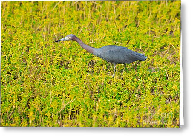 Nature Center Greeting Cards - Little Blue Heron Greeting Card by Louise Heusinkveld