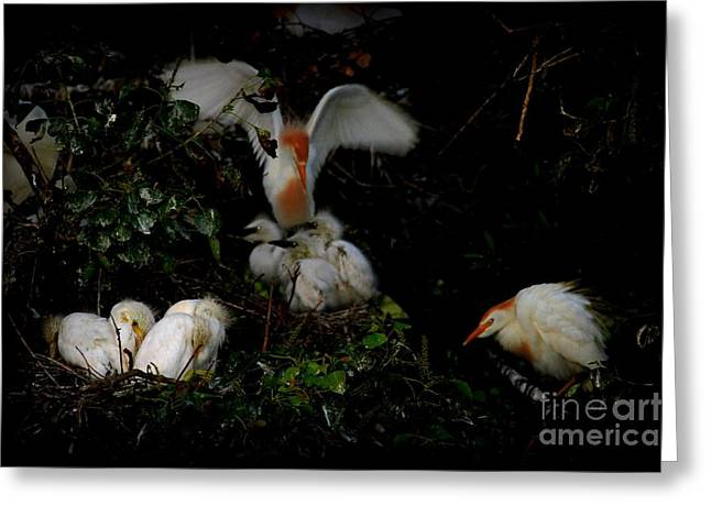Bird Rookery Swamp Greeting Cards - Little Blue Heron Nest Greeting Card by Shelly Guy Dunford
