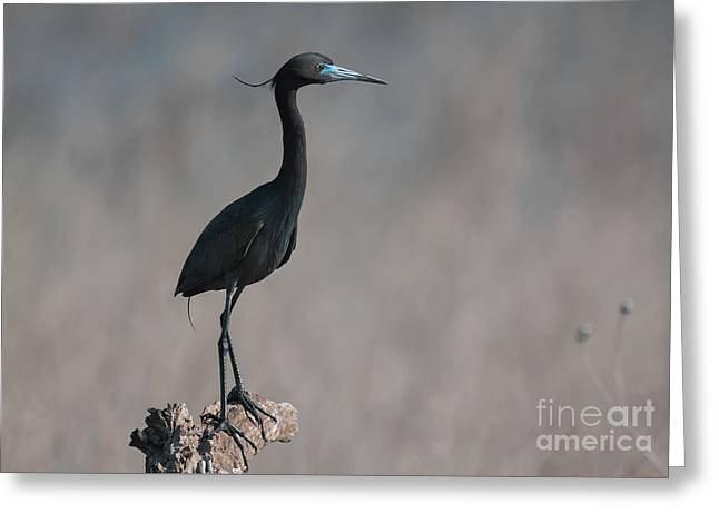 Frederick Greeting Cards - Little Blue Heron Portrait Greeting Card by Robert Frederick