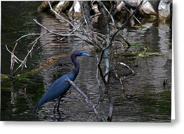 LITTLE BLUE HERON Greeting Card by Skip Willits