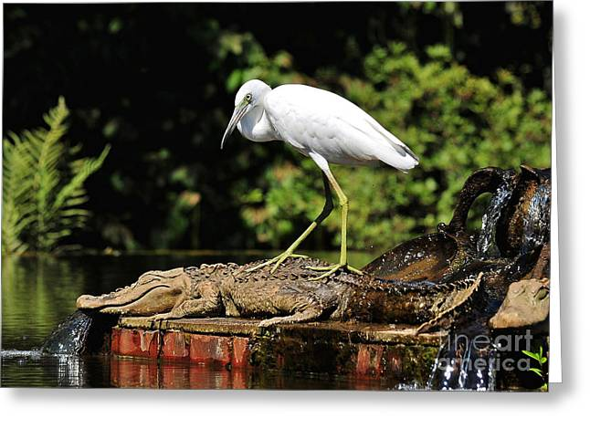 Morph Greeting Cards - Little Blue Heron White Morph In An Alligator Fountain Greeting Card by Kathy Baccari
