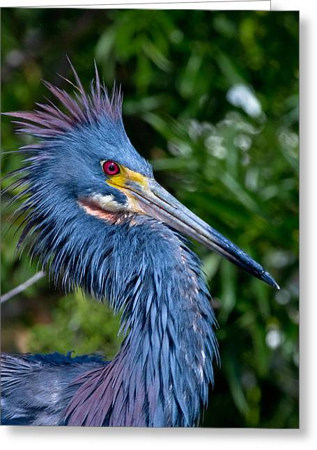 Wild Life Photographs Greeting Cards - Little Blue Herons Crest Greeting Card by Andres Leon