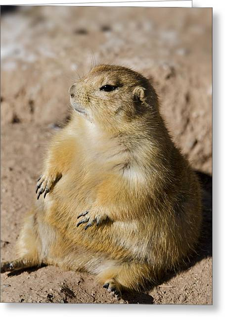 Prairie Dogs Greeting Cards - Little Buddha Greeting Card by Saija  Lehtonen