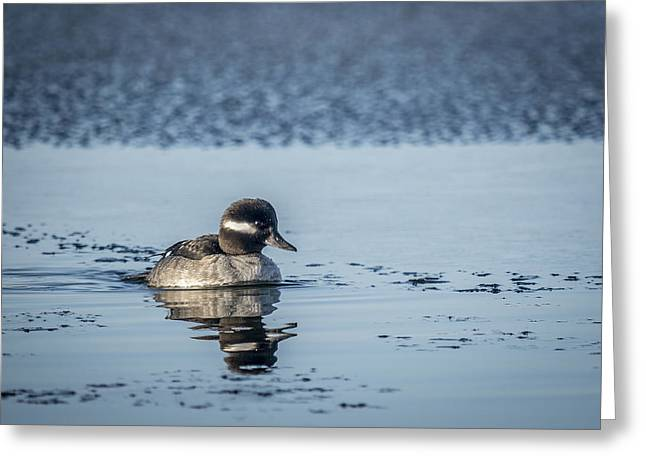 Decour Greeting Cards - Little Bufflehead Greeting Card by Andy Smetzer
