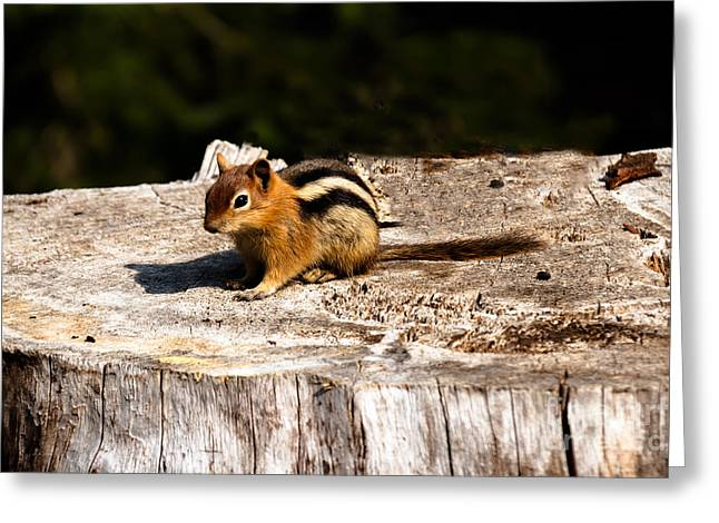 Haybales Greeting Cards - Little Chipmunk Greeting Card by Robert Bales