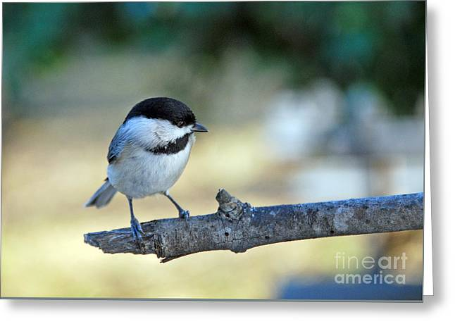 Kinds Of Birds Greeting Cards - Little Darlin Greeting Card by Skip Willits