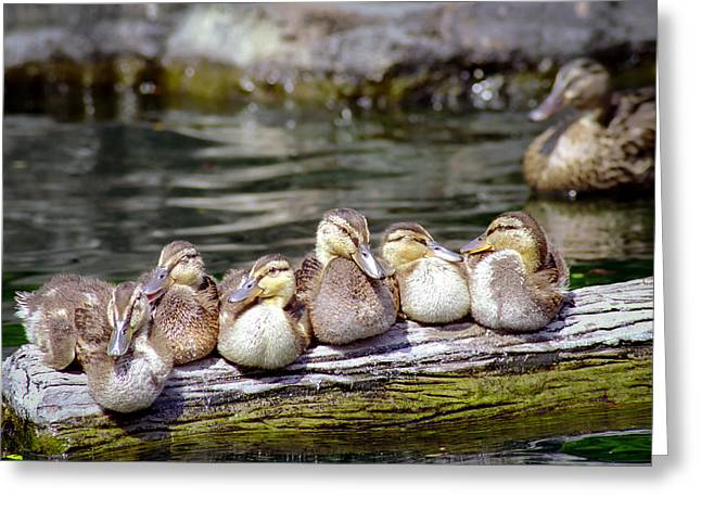 Ducklings Greeting Cards - Little Ducklings on a log Greeting Card by Gary Heller