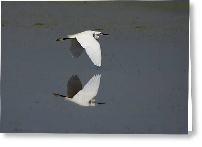 Sea Birds Greeting Cards - Little Egret in flight Greeting Card by Tony Mills
