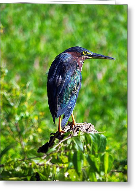 Circle B Bar Greeting Cards - Little Green Heron 001 Greeting Card by Chris Mercer