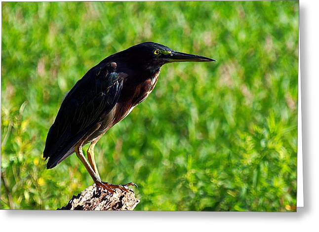 Circle B Bar Greeting Cards - Little Green Heron 003  Greeting Card by Chris Mercer
