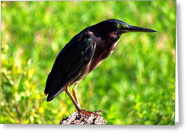 Circle B Bar Greeting Cards - Little Green Heron 005 Greeting Card by Chris Mercer