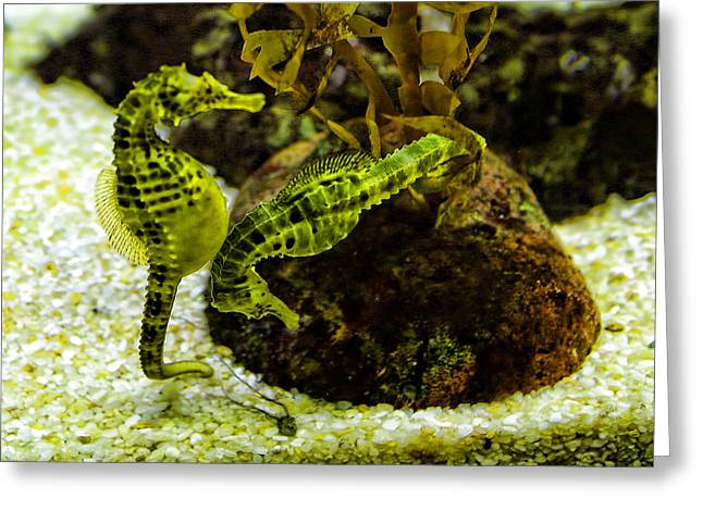 Big Belly Greeting Cards - Little Green Seahorses Greeting Card by Linda Phelps