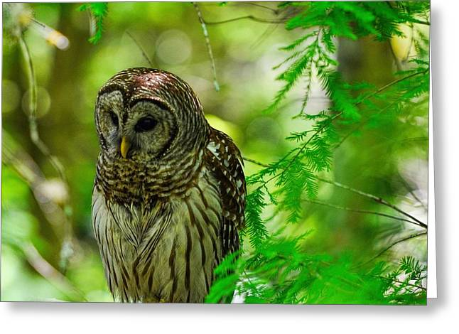 Polk County Florida Greeting Cards - Little Hoot Owl Greeting Card by Pamela Blizzard