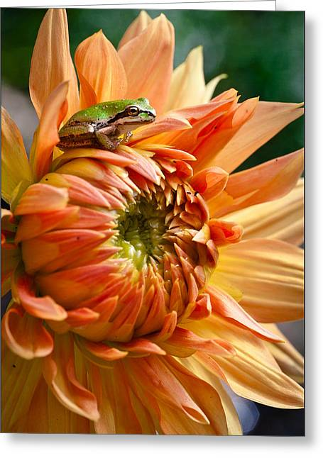 Pacific Tree Frog Greeting Cards - Little King Greeting Card by Marvin Mast