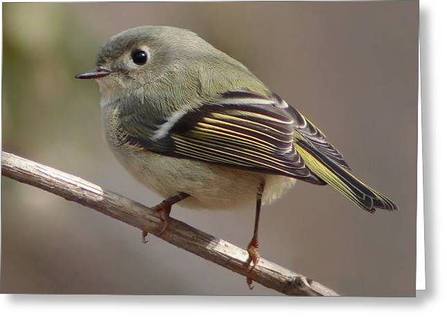 Ruby-crowned Kinglet Birds Greeting Cards - Little Kinglet Greeting Card by Anita Oakley