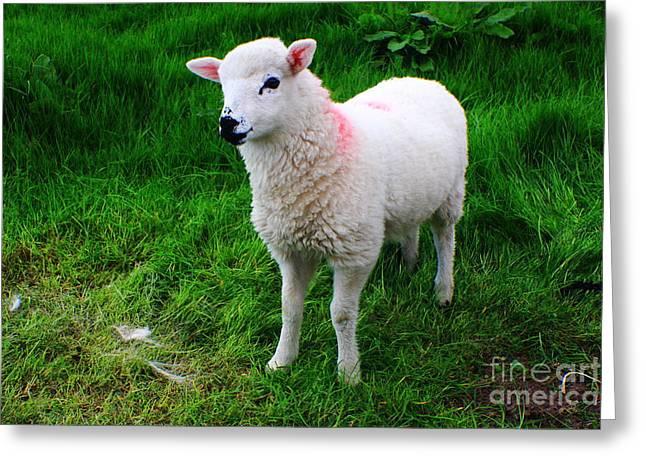 Suckle Greeting Cards - Little Lamb Greeting Card by Aidan Moran