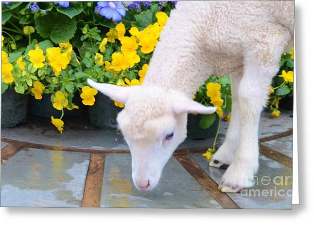 Struckle Greeting Cards - Little Lamb Greeting Card by Kathleen Struckle