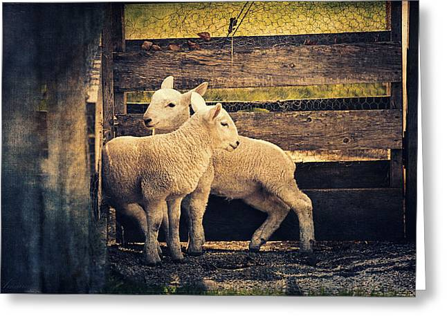 Ovine Greeting Cards - Little Lambs Playing Together I Greeting Card by Maria Angelica Maira