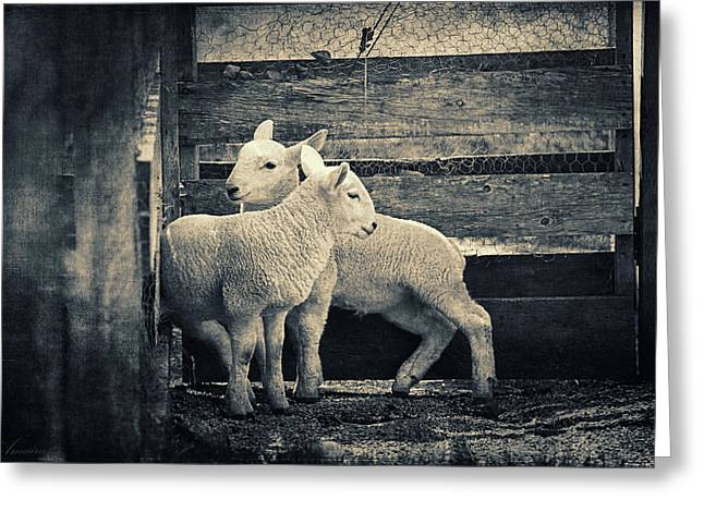 Ovine Greeting Cards - Little Lambs Playing Together Greeting Card by Maria Angelica Maira