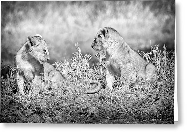 Little Lion Cub Brothers Greeting Card by Adam Romanowicz
