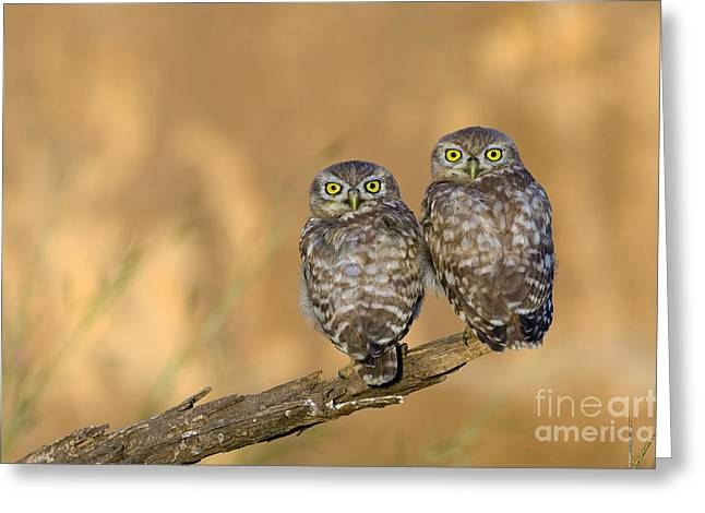 Predatory Animals Greeting Cards - Little owl athene noctua 4 Greeting Card by Eyal Bartov