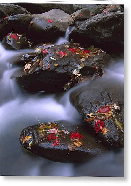Photos Of Autumn Greeting Cards - Little Pigeon River And Fall Maple Greeting Card by Tim Fitzharris