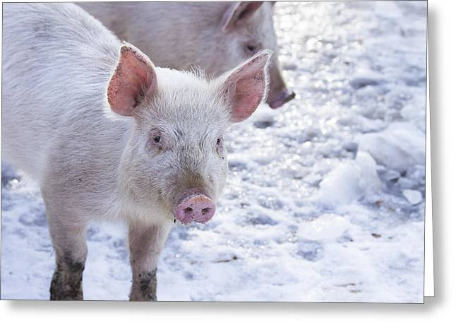 Pork Greeting Cards - Little Piggies Greeting Card by Edward Fielding