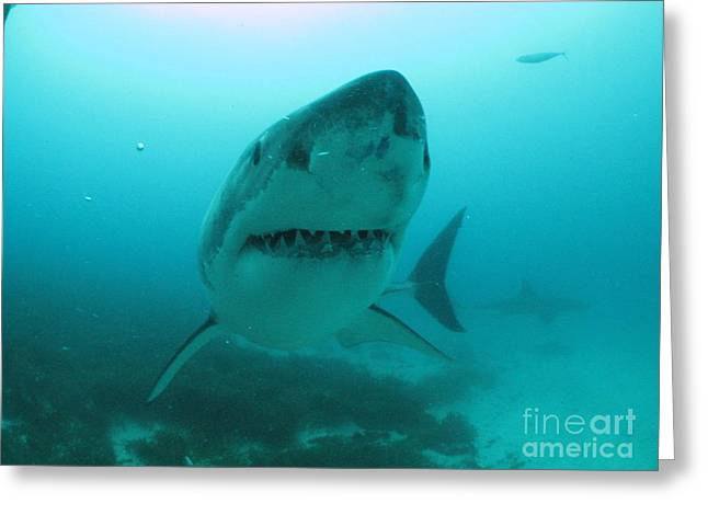 Neptune Islands Greeting Cards - Little Punk Shark Greeting Card by Crystal Beckmann
